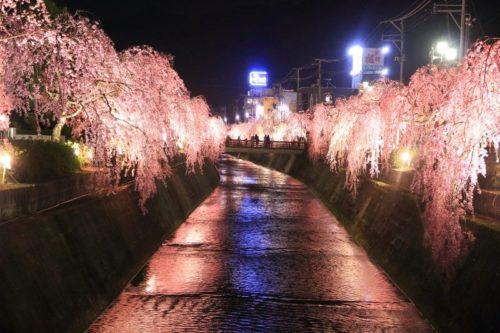 天童人間将棋しだれ桜の夕べ