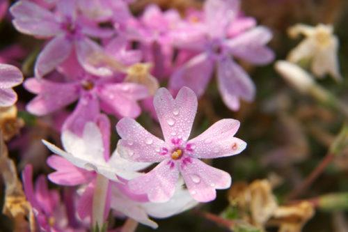 芝桜淡いピンク