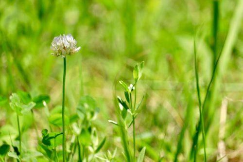 花シロツメクサ