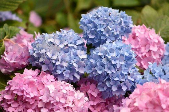 青とピンクのあじさい