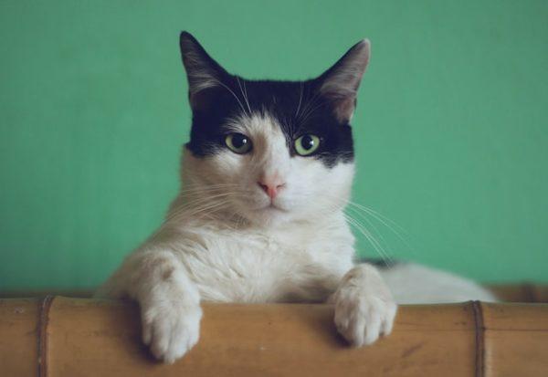 緑の背景の猫