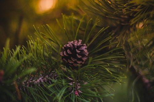 クリスマスツリーの松ぼっくり